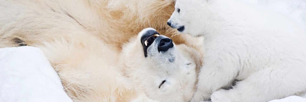 Polar bear mother and cub frolic oblivious of Oil industries plan for the Arctic