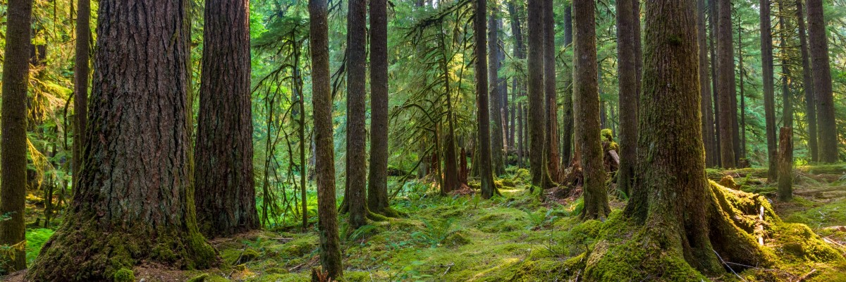 Old growth temperate rainforest at risk of logging