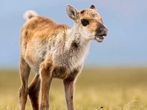 Caribou calf looks towards the right in a field