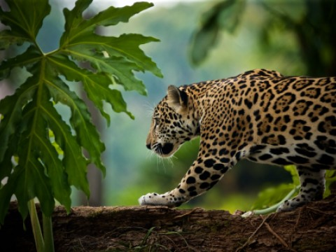 Jaguar seen in Amazon Sacred Headwaters located in Ecuador and Peru