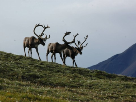 Woodland caribou in the boreal forest